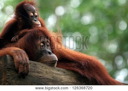 Baby orangutan and mom climbing and resting at tree in forests