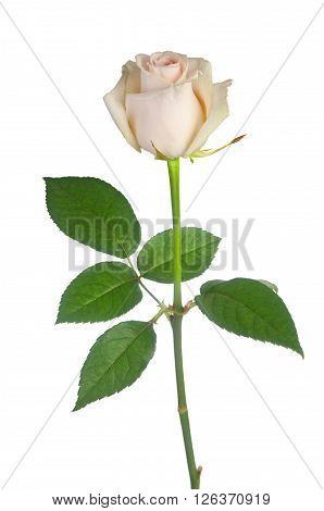 Beautiful Single White Rose On A White Background