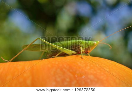Young, Green Grasshopper Sits On A Yellow Pumpkin