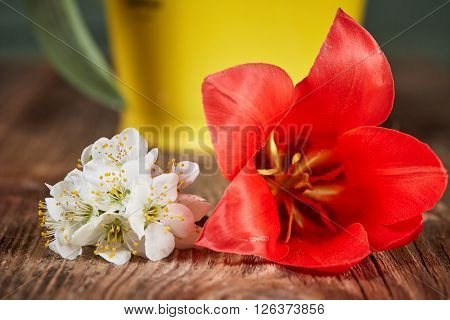 White Apple Blossom And Red Tulip Bloom