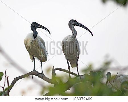 Black-headed Ibis in Siliguri, West Bengal, India