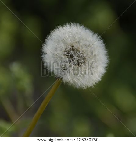 A Dandelion Seedhead (Taraxacum officinale) ready to spread its seeds during spring.
