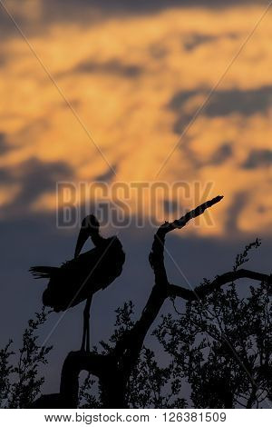 Silhouette of marabou stork on a dead tree at sunset ** Note: Visible grain at 100%, best at smaller sizes