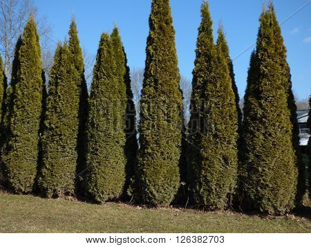 closeup of a row of tall thin green evergreen trees