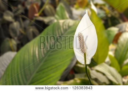 Peace lily white flower (Spathiphyllum - arum)
