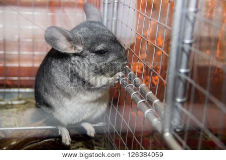 close-up the grey chinchilla in the cage ** Note: Shallow depth of field