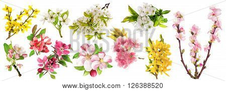 Spring flowers isolated on white background. Blossoms of apple tree cherry twig pear almond forsythia