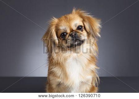 Portrait of Pekinese dog on gray background.
