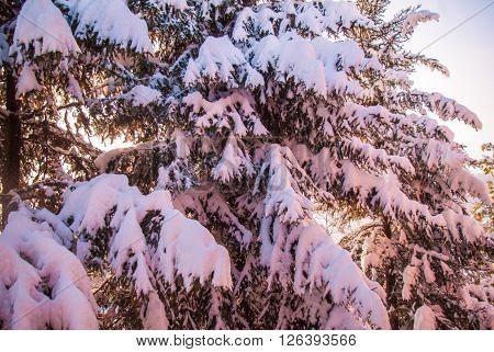 Beautiful Magic Winte R Sunset Over High Fir Tree