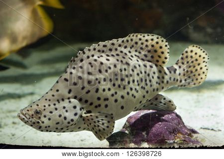 Humpback grouper (Cromileptes altivelis), also known as the panther grouper. Wild life animal.  poster