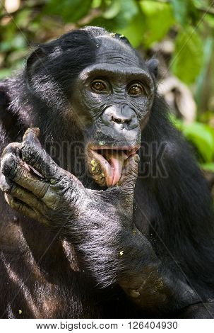 Close Up Portrait Adult Male Bonobos (pan Paniscus), Licking A Paw, On Green Natural Background.