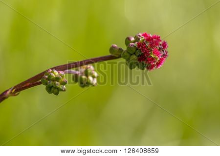 Blooming Salad Burnet