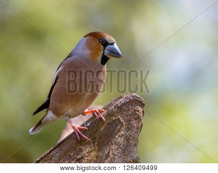 Hawfinch On A Log
