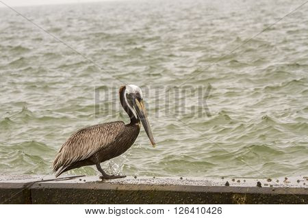 Brown pelican sitting on seawall on overcast day.
