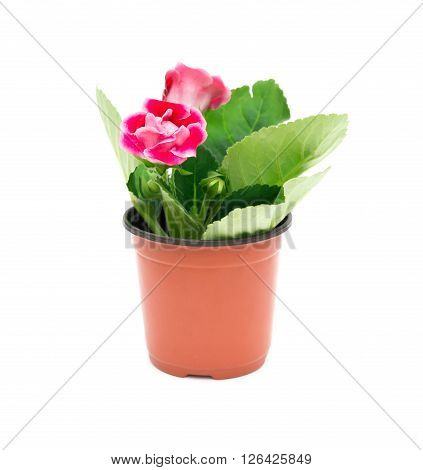 Red Gloxinia (Sinningia) in a pot on a white background