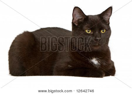 Black Cat Laying Down And Isolated On White