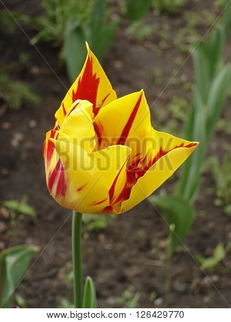Tulip flower 'Mona Lisa' (stripes or flames of red yellow background )