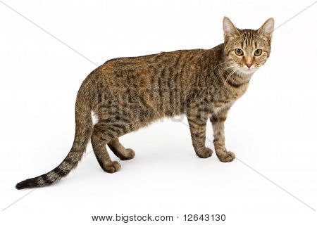 Tabby Cat Standing Up And Isolated On White