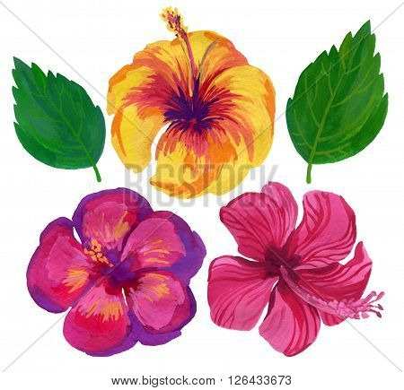 watercolor flower set of hibiscus isolated on white background. Hand painted illustration