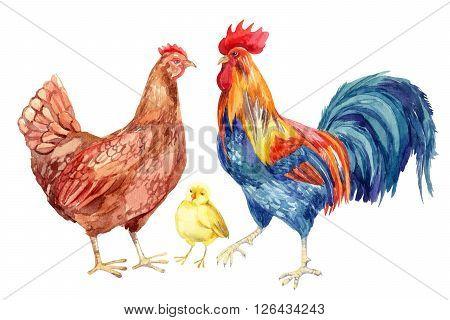 Watercolor chicken family - hen rooster chicken. Hand painted illustration
