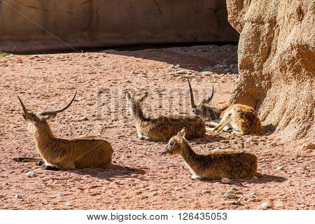 cobo lichi resting at fauna park - red Lechwe - kobus leche