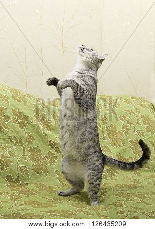 Young curious cat standing on a sofa, cute funny cat close up, domestic cat, funny cat in domestic background, cat standing, curious cat standing on 2 legs, standing cat, playing cat