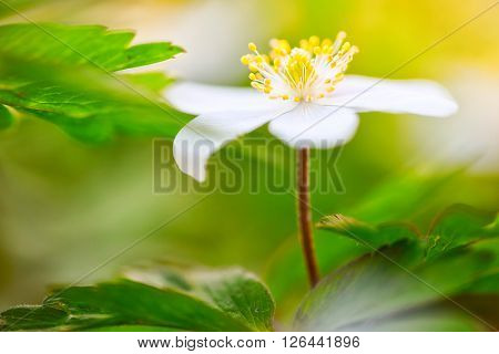One single wood anemone standing tall between the green spring leaves. Anemone nemorosa, Hallerbos Belgium a beautiful spring wild flower.