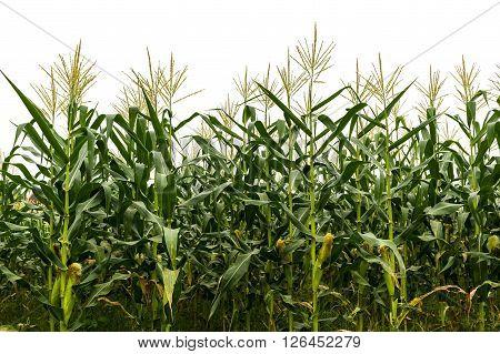 Corn Plantation At Harvest
