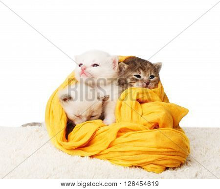 White and grey kittens. Cute kittens in a yellow cotton textile isolated at white background. Adorable pets. Small heartwarming kittens. Little cats. Animals isolated. High key