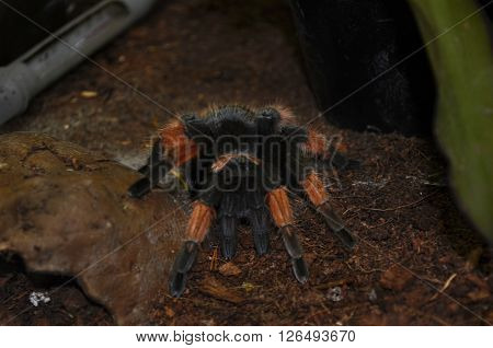 Big hairy Tarantula (Theraphosidae) at a terrarium in a zoo ** Note: Soft Focus at 100%, best at smaller sizes