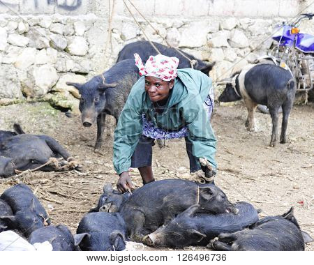 FOND BAPTISTE, HAITI - FEBRUARY 18, 2016:  A senior woman looking up at the viewer as she stoops to pick up tied a pigs to take home from the Fond Baptiste, Haiti, market.  Others pigs surround her.