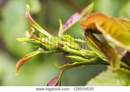 Pests plants diseases. Aphid close-up on rose bud. poster