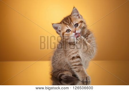 Scottish Kitten, Portrait Kitten On A Studio Color Background