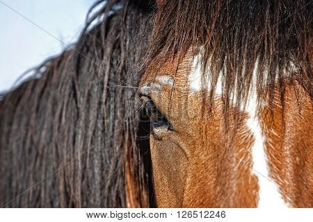 A close up the head, mane, face, and eye of an untamed horse at a western ranching event in the American West.  Shallow depth of field with focus point on the eye.