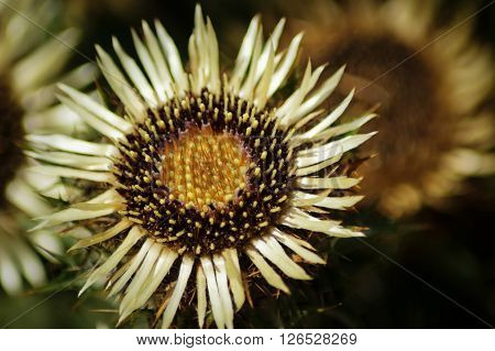 A Common Carline Thistle flower (Carlina vulgaris)