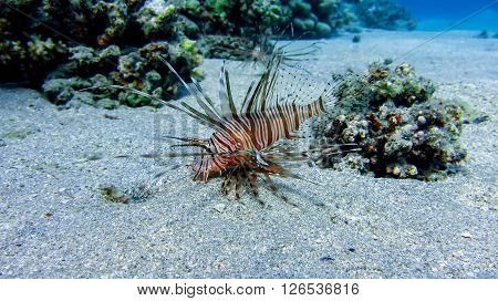 Red Lion fish above the grey ground in Marsa Alam Egypt