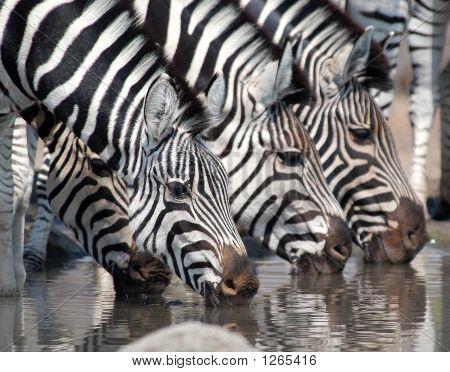 Zebra trinken