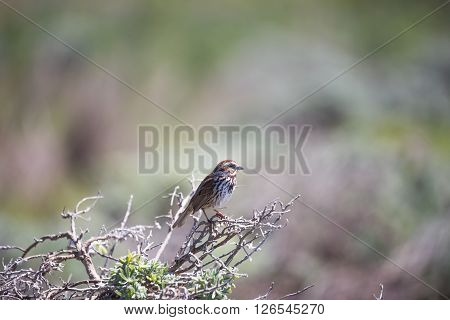 Song sparrow (Melospiza melodia) perched on a shrub