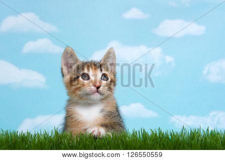 Tortie Tabby Kitten Perched Below Tall Green Spring Grass
