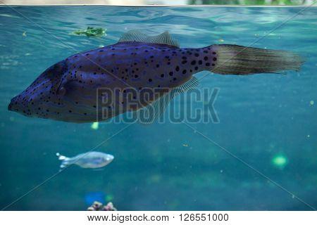 Scribbled leatherjacket filefish (Aluterus scriptus). Wild life animal.