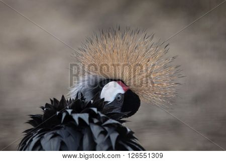 Grey crowned crane (Balearica regulorum). Wild life animal.