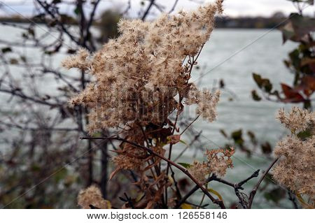 An aster plant, gone to seed near the shore of Lake Renwick Heron Rookery Nature Preserve in Plainfield, Illinois, during the autumn.