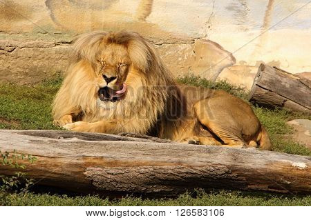 Lion with closed eyes licking own face
