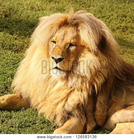Lion head with the hairy mane on the grass