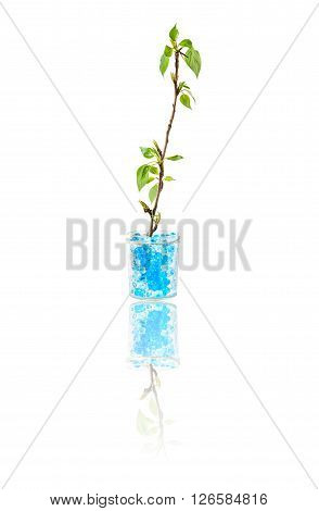 green plant growing in hydrogel soil isolated on white background with reflection