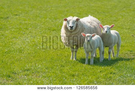 Proud mother with a thick winter fur presents her innocent looking newborn lambs standing on lush green grass on a sunny day at the beginning of spring season.