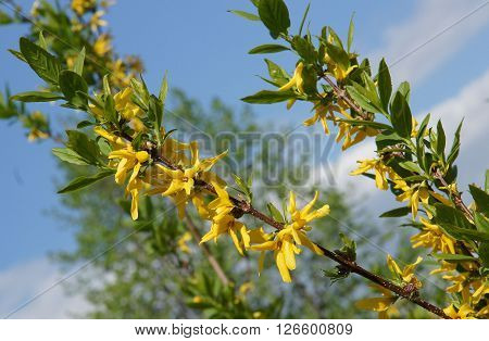A Branch of Yellow Forsythia Blooming in spring sunny day