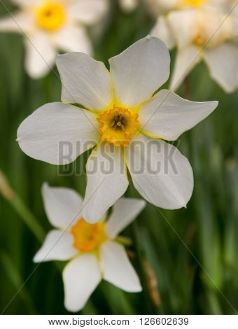 beauty narcissus in garden and blur background