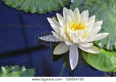 white lotus flower blooming in the pond reflection with the water