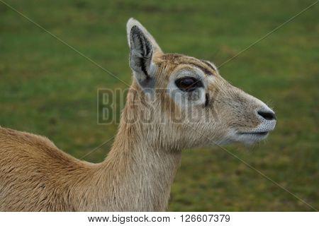 An inquisitive small wild Blackbuck - Antilope cervicapra